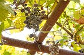 Red Wine Grapes Background/ Dark Grapes/ Blue Grapes/ Wine Grapes poster