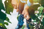 Female Viticulturist Harvesting Grapes In Grape Yard, Organic Farmer And Agronomist Picking Wine Gra poster