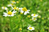 image of naturist  - Close up of German Chamomile  - JPG