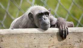 picture of tarzan  - Photo of a chimpanzee resting in captivity  - JPG