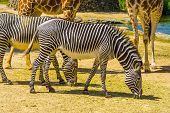 Imperial Zebra In Closeup, Endangered Animal Specie From Africa, Black And White Striped Wild Horse poster