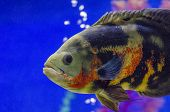 Oscar Fish, Astronotus Ocellatus. Tropical Freshwater Fish In Aquarium. Tiger Oscar, Velvet Cichlid. poster