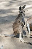 This Is A Side View Of A Joey Red Kangaroo poster