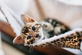 Young Bengal kitten resting on cat tree at home. Purebred poster