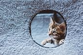 Young Bengal cat looking out from the whole. Funny animals poster