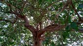 Large Tree With Many Branches And Green Leaves .massive Tree With Green Branches.tree Branches Backg poster