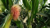 Corn Silk In The Field poster