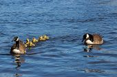 stock photo of mother goose  - Canadian goose and gander swimming with thier goslings.