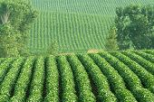 stock photo of soybeans  - rows of green soybeans on rolling hills near Schuyler Nebraska