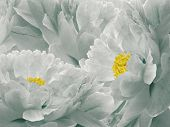 Floral Light Turquoise Background. Flowers And Petals Of A Light Turquoise Peonies Close Up. Nature. poster