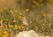 picture of meadowlark  - Lark put on a stone in a meadow - JPG