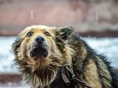 In The Rain A Fluffy Large Dog In A Collar With A Leash Looks In Fear Up Pressing His Ears poster