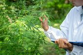 Female Scientist In A Hemp Field Checking Plants And Flowers, Alternative Herbal Medicine Concept, M poster