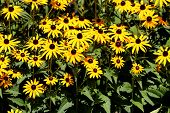 Densely Planted Black-eyed Susan Or Rudbeckia Hirta Or Brown-eyed Susan Or Brown Betty Or Gloriosa D poster