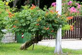 Twisted Decorative Tree Like Old Trumpet Vine Or Campsis Radicans Or Trumpet Creeper Or Cow Itch Vin poster