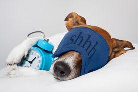 pic of shhh  - Dog Sleeping With Alarm Clock And Sleeping Mask - JPG