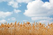 foto of bulrushes  - Bulrush against the white clouds beautiful yellow reed - JPG