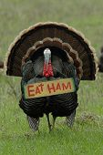 stock photo of taxidermy  - humorous photo of a wild turkey carrying an  - JPG