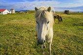 image of workhorses  - Beautiful white pony looking at camera in Iceland - JPG