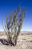 foto of ocotillo  - Spidery ocotillo plant flourishes in the Colorado Desert area of Joshua Tree National Park - JPG