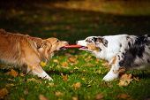 pic of australian shepherd  - two dogs playing with a toy together in autumn - JPG