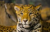 stock photo of ocelot  - Portrait of a young Jaguar Cat looking towards the camera - JPG