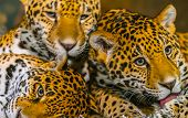 image of ocelot  - Two young male Jaguars and their mother