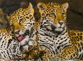 stock photo of ocelot  - Two young male Jaguars and their mother