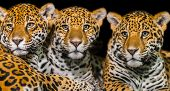 picture of ocelot  - Two young male Jaguars and their mother - JPG