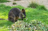 pic of wallabies  - The Australian wallaby is one of the few species of animals that have a pouch