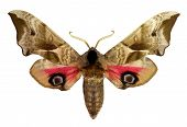 picture of hawk moth  - Eyed Hawk - JPG