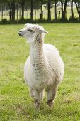 foto of alpaca  - An alpaca at a commercial Alpaca farm - JPG