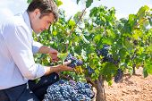 Bobal harvesting with harvester farmer winemaker in Mediterranean
