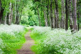 picture of birchwood  - Footpath in a birchwood June day - JPG