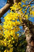 picture of cassia  - Cassia Fistula Flower In Tree Garden Home - JPG