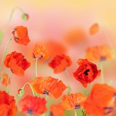 stock photo of poppy flower  - Flowers are red poppies bloomed in the field - JPG
