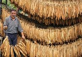 pic of tobacco barn  - Farmer looks and controls dry tobacco leaf in the dryer - JPG
