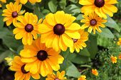 image of black-eyed susans  - Black Eyed Susan filled the whole picture