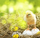 Cute little chicken and white eggs  in nest