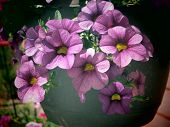 pic of petunia  - a filtered close up on purple petunia flowers - JPG
