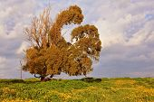 Dry bizarre huge tree on the background of the cloudy sky. Spring field, blooming yellow flowers.