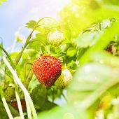 image of strawberry plant  - Fresh strawberries plant closeup with bright sunlight - JPG