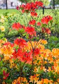 foto of molly  - Twigs with orange colored buds and flowers of a Japanese Azalea or Rhododendron molle subsp. japonicum shrub in a park. ** Note: Shallow depth of field - JPG