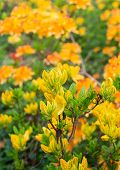 picture of molly  - Twigs with orange and yellow colored buds and blossoms of a Japanese Azalea or Rhododendron molle subsp. japonicum shrub in a park. ** Note: Shallow depth of field - JPG