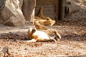 foto of wallow  - Sunbathing on the sand of the zoo - JPG