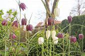 pic of garden snake  - Fritillaria meleagris flowers outdoors in the garden - JPG