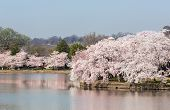 stock photo of arlington cemetery  - Cherry blossoms overhang the Tidal Basin in Washington DC during Cherry Blossom Festival with Arlington Cemetery in distance - JPG