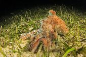 Whitespotted Octopus hunting at night