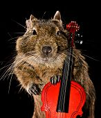 stock photo of viola  - degu pet with viola isolated on black background - JPG