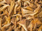 stock photo of chanterelle mushroom  - chanterelle mushroom in front of white background - JPG